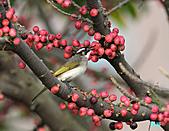 美堤河濱公園的椋鳥:白頭翁.jpg