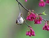 武陵花鳥:2008_02_01武陵0256_1.jpg