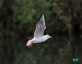 宜蘭紅嘴鷗:111215空中撈魚紅嘴鷗_087-1.jpg