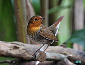 2010野柳秋過境之日本歌鴝母鳥:101128野柳日本歌鴝_032.jpg