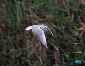 宜蘭紅嘴鷗:111215空中撈魚紅嘴鷗_096-1.jpg