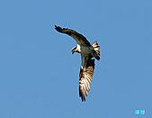 廣興的魚鷹:101110魚鷹_0017.jpg