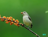 小小鳥綠啄花:110418平廣綠啄花_111-1.jpg