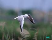宜蘭紅嘴鷗:111215空中撈魚紅嘴鷗_100-1.jpg