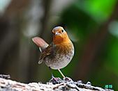 2010野柳秋過境之日本歌鴝母鳥:101128野柳日本歌鴝_050.jpg