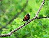 新豐黑頭文鳥:1004015新豐黑頭文鳥_033.jpg