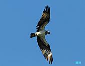廣興的魚鷹:101110魚鷹_0021.jpg