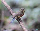 野柳藍尾鴝母鳥:101121藍尾鴝母鳥_018.jpg