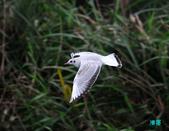宜蘭紅嘴鷗:111215空中撈魚紅嘴鷗_101-1.jpg