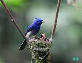 三富黑枕藍鶲育雛:110616三富黑枕藍鶲_076.jpg