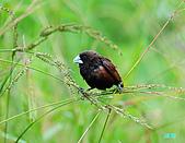 新豐黑頭文鳥:1004015新豐黑頭文鳥_040.jpg