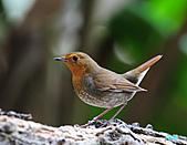 2010野柳秋過境之日本歌鴝母鳥:101128野柳日本歌鴝_051.jpg