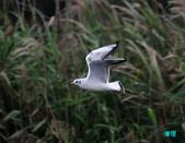 宜蘭紅嘴鷗:111215空中撈魚紅嘴鷗_103-1.jpg