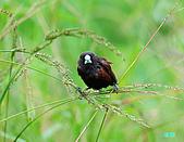 新豐黑頭文鳥:1004015新豐黑頭文鳥_042.jpg