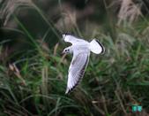 宜蘭紅嘴鷗:111215空中撈魚紅嘴鷗_105-1.jpg