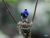 三富黑枕藍鶲育雛:110616三富黑枕藍鶲_155.jpg