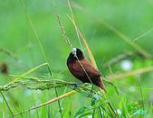 新豐黑頭文鳥:1004015新豐黑頭文鳥_053.jpg