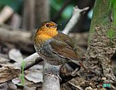 2010野柳秋過境之日本歌鴝母鳥:101128野柳日本歌鴝_070.jpg