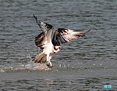 廣興的魚鷹:101109廣興魚鷹_033.jpg