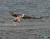 廣興的魚鷹:101109廣興魚鷹_034.jpg