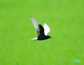 白翅黑燕鷗:110516羅東白翅黑燕鷗_522.jpg