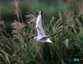 宜蘭紅嘴鷗:111215空中撈魚紅嘴鷗_108-1.jpg