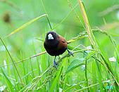 新豐黑頭文鳥:1004015新豐黑頭文鳥_059.jpg