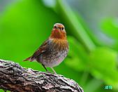 2010野柳秋過境之日本歌鴝母鳥:101128野柳日本歌鴝_098.jpg