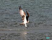 廣興的魚鷹:101109廣興魚鷹_035.jpg