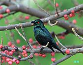 美堤河濱公園的椋鳥:輝椋鳥.jpg