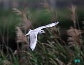 宜蘭紅嘴鷗:111215空中撈魚紅嘴鷗_110-1.jpg