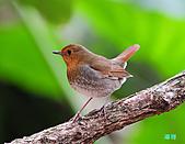 2010野柳秋過境之日本歌鴝母鳥:101128野柳日本歌鴝_128.jpg