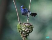 明池鴛鴦:110606冬山黑枕藍鶲_079.jpg