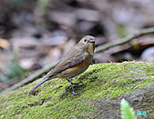 野柳藍尾鴝母鳥:101121藍尾鴝母鳥_019.jpg