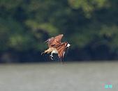 廣興的魚鷹:101109廣興魚鷹_070.jpg