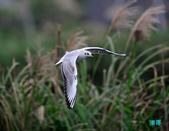 宜蘭紅嘴鷗:111215空中撈魚紅嘴鷗_112-1.jpg