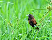 新豐黑頭文鳥:1004015新豐黑頭文鳥_074.jpg