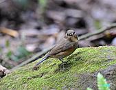 野柳藍尾鴝母鳥:101121藍尾鴝母鳥_020.jpg