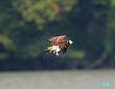 廣興的魚鷹:101109廣興魚鷹_071.jpg