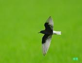 白翅黑燕鷗:110516羅東白翅黑燕鷗_463.jpg