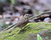 野柳藍尾鴝母鳥:101121藍尾鴝母鳥_021.jpg