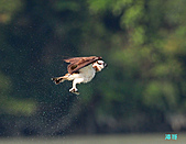 廣興的魚鷹:101109廣興魚鷹_072.jpg