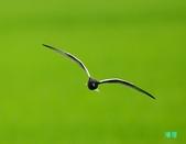 白翅黑燕鷗:110516羅東白翅黑燕鷗_472.jpg
