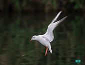 宜蘭紅嘴鷗:111215空中撈魚紅嘴鷗_114-1.jpg