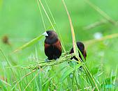 新豐黑頭文鳥:1004015新豐黑頭文鳥_090.jpg