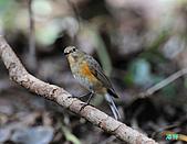 野柳藍尾鴝母鳥:101121藍尾鴝母鳥_022.jpg