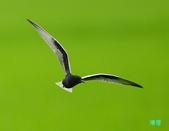白翅黑燕鷗:110516羅東白翅黑燕鷗_474.jpg