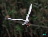 宜蘭紅嘴鷗:111215空中撈魚紅嘴鷗_122-1.jpg
