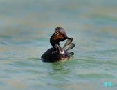 黑頸鷿鵜在金山:120325金山山黑頸鷿鵜_080-1.jpg