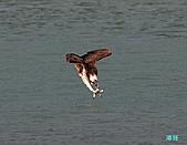 廣興的魚鷹:101109廣興魚鷹_075.jpg